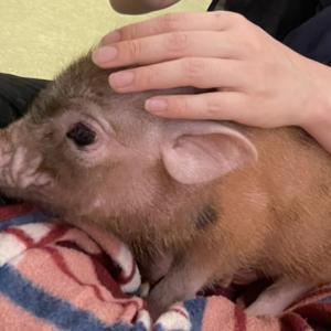 息子とマイクロ豚カフェ🐷