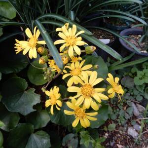 秋の花2題 菊と竜胆
