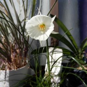 ナルキッスス・バルボコディウム・カンタブリクスが咲いてきました。