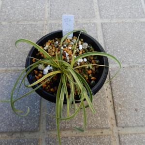 斑入りハナニラと原種水仙