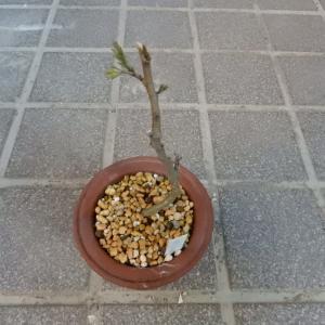 カラスバネムの木