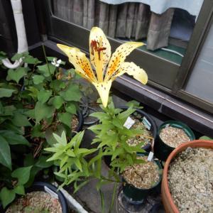 黄イワトユリ開花