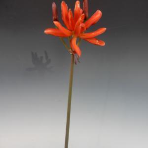 八重咲きキツネノカミソリ開花