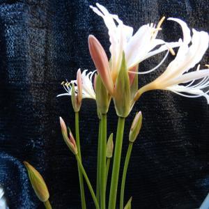遅咲きのリコリス