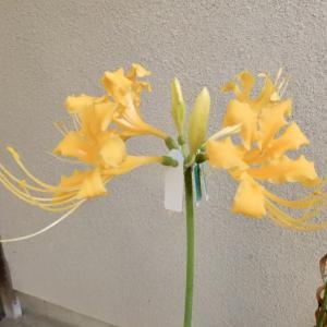 ショウキズイセンが咲きました