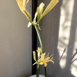 本年最後のリコリス開花です。