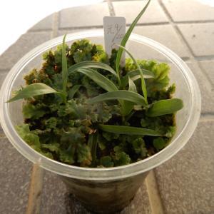 紫蘭の段ボール播きの苗&インデアンレッドの葉っぱ