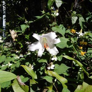 匂いササユリ開花