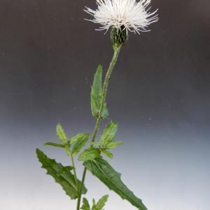 白花野アザミ開花