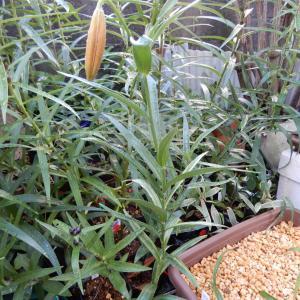 斑入りコオニユリがもうすぐ開花します。
