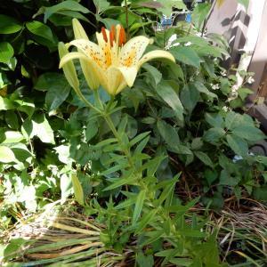 キイワトユリの開花です。