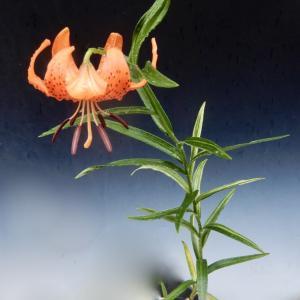 斑入りコオニユリの開花です