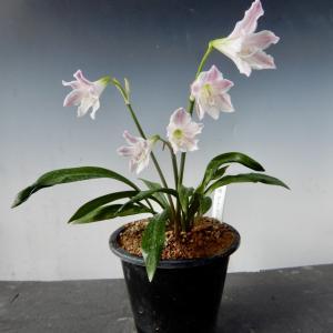 可愛いいミニアマリリス開花