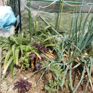 鹿児島産 ショウキズイセン(トラウビ)&菜園