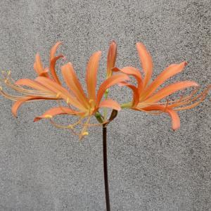 オオキツネノカミソリの開花の続き