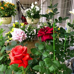 バラ園巡りは自粛~庭の春バラに癒されています