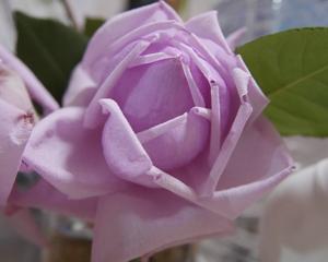 我が家の薔薇~冬剪定しましたが植え替えは同サイズの鉢で