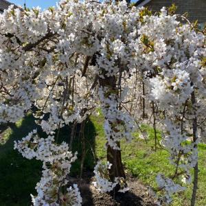cherry and magnolia 桜と木蓮
