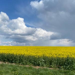 rape fields 菜の花畑