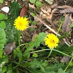たんぽぽの花摘み