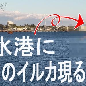 清水港に野生のイルカ現る!釣り 静岡観光