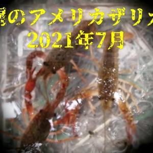 札幌のアメリカザリガニ調査!2021年7月 ザリガニ釣り アメリカザリガニは北海道の「指定外来種」として規制対象になっています。 捕獲したアメリカザリガニは「放つこと等の禁止」が求められています