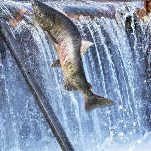 鮭の栄養と効能 身や卵に含まれる抗酸化物質『アスタキサンチン』に注目!