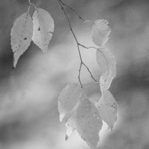 クマシデの紅葉
