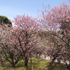 【縮景園】の梅が見頃を迎えています!