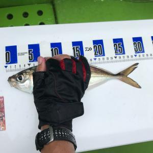 [東京湾LTアジ]惜しくも束釣りならず!尺アジは2匹釣れたよ!