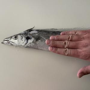 太平洋でタチウオ釣り