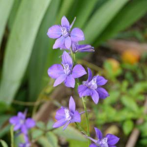 庭の花:千鳥草・紫陽花