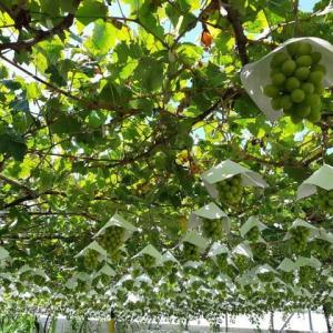 山梨の日本遺産と葡萄