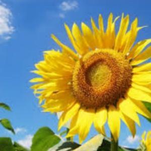 【アウトレットマーケット】Sun Flower〜C&M〜