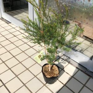 メディカルティーツリーの木