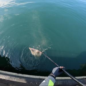 城ヶ島岸壁でメジナ釣り #8