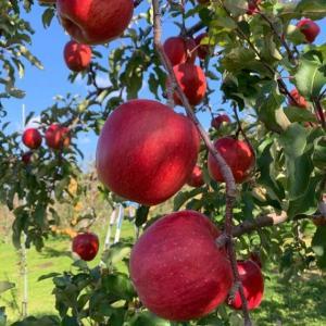 りんごの発祥地は七飯町!オススメは成田園の絶品りんご!直売、全国郵送取扱可!
