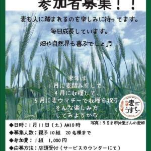 沖縄で麦踏み体験できます!(令和2年1月11日)