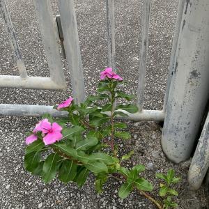 結果は同じ花なんですが、、