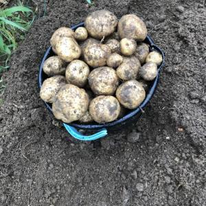 家庭菜園のじゃがいもを7月24日にようやく収穫することができました。