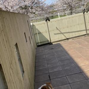 満開の桜と犬たち