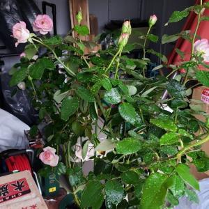 クレマチス プリンセスケイトの返り咲き