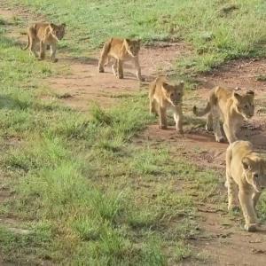 悶絶の可愛さ!ベビーラッシュなサファリツアー最終日 マサイマラ国立公園 ケニア