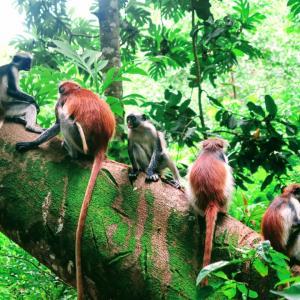 ダラダラに乗りジョザニ保護区へ モンキーフォレスト 人慣れした絶滅危惧種レッドコロブス ザンジバル タンザニア