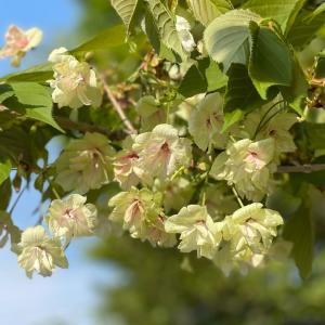 朝寝坊と緑の桜