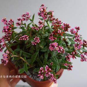 秋の多肉の花