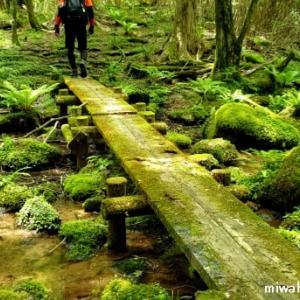 愛知県最高峰 茶臼山のヒカリゴケ。・*☆ 源流の森から