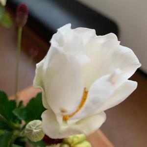 秋明菊は 夜眠る花