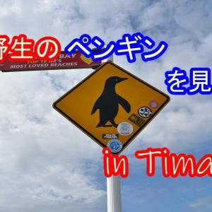 【NZ観光】野生のペンギンを無料で見よう in ティマル