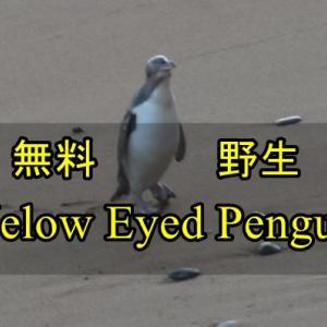 【Oamaru】無料で野生のイエローアイドペンギンを見る方法